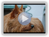 Australian Terrier (Terrier de Australia) - Dog Breed