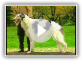 Borzoi - Galgo Ruso - AKC Dog breed series