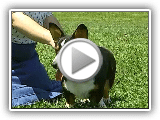 Cardigan Welsh Corgi - AKC Dog Breed Series