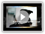 Black Norwegian Elkhound Dog Breed