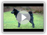 Black Elkhound atau Elkhound Hitam