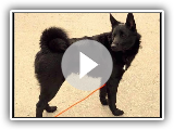 Black Norwegian Elkhound / Breed of dog