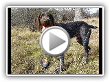Exposure & Development of Cesky Fousek Puppy for Hunting