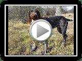 Exposição & Desenvolvimento de Cesky Fousek filhote de cachorro para a caça