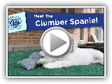 AKC Meet the Clumber Spaniel