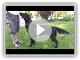 Dog Breed Video: Flat Coated Retriever