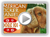 Dogs 101 - AMERICAN COCKER SPANIEL - Top Dog Facts About the AMERICAN COCKER SPANIEL