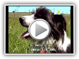 Bearded Collie Sheep Dog 06