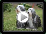 Bearded Collie IRBOAS Exposição Internacional Canina MADRID 2013