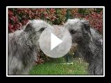 Lebrel Escocés o Deerhound - Raza de Perros