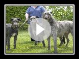 El Grandioso Deerhound Escoces