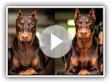 8 Things you didn't know about the DOBERMANN PINSCHER | Anime&Tops