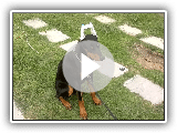 Basic training Dobermann class 1