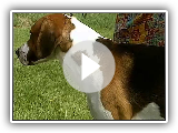English Foxhound - AKC Dog Breed Series