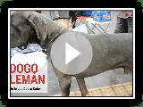 Dogo Alemán o Gran Danés - Todo Sobre la Raza