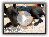 Tiny, Scared Puppy Falls In Love With A 120-Pound Great Dane | The Dodo Little But Fierce