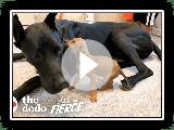 Winzig, Scared Puppy verliebt sich in eine 120-Pfund-Deutsche Dogge | Der Dodo Little But Fierce
