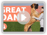 GREAT DANE - The Gentle Giants of the Dog World