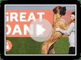 DEUTSCHE DOGGE - Die sanften Riesen der Hundewelt