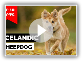 Icelandic Sheepdog - Top 10 Facts