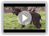 Dog Breed Video: Irish Water Spaniel