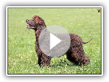 Irish Water Spaniel / Breed of dog