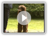 Irish Water Spaniel - AKC Dog Series Race