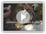 4  Jämthund- a nordic hunter