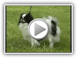 Japanese Chin - AKC Dog Breed Series
