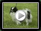 Chin japonês - Série da raça do cão de AKC