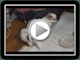 Japonais Chin Puppy Prendre Downs