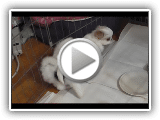 Japonês Chin do filhote de cachorro Downs Tomar