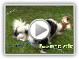 Japanese chin #01 -  puppy love