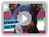 Australian Kelpie - TOP 10 Interesting Facts