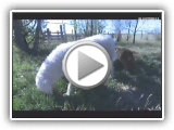 Komondor Documentary - Supernature