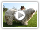 P pour Komondor Dogs Pet or Not