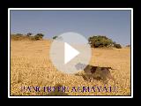 Pancho de Almayate hunting quail GRIFFON KORTHALS DE ALMAYATE