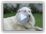 Kuvasz - Breed of dog