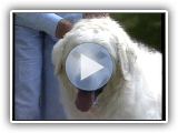 Kuvasz - AKC Dog Series Race