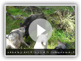 West Siberian Laika (English subtitles)Wild boar hunting in Spain