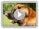 Leonberger - Breed of dog