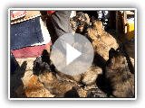 Chiot Leonberger 2016
