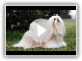 Lhasa Apso - Breed of dog