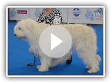 South Russian ovcharka, WDS-2016, females, Intermediate class