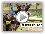 Dutch Shepherd Alert and Resistance, The Best Police Dog Breed