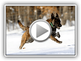 Dutch Shepherd Dog Breed - Amazing Facts