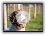 Lagotto Romagnolo - Dog Breed / Dog Breed
