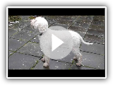 Dog Breed Video: Lagotto Romagnolo