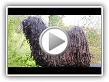 Dog Breed Video: Hungarian Puli