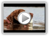 Cães 101: Chesapeake Bay Retriever